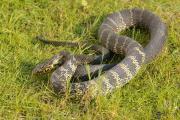 夢見蛇是什麽意思,夢到蛇的意味意義
